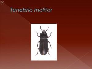 Outro exemplo, conhecido de todos, o Tenebrio molitor. Este besouro põe por terra o aristotelismo! Ouça poque...