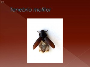 Eles não voam, mas têm asas! A natureza nada faz em vão? Então porque lhe conferiu asas, se não são utilizadas?