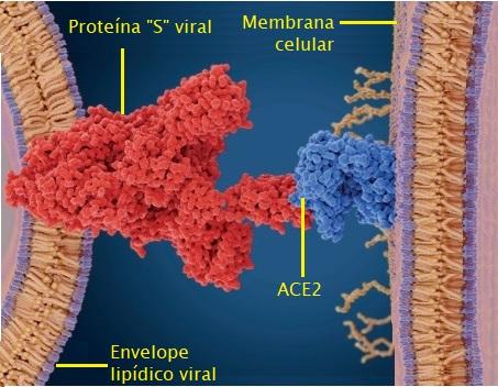 Coronavirus_binding_x_legendas